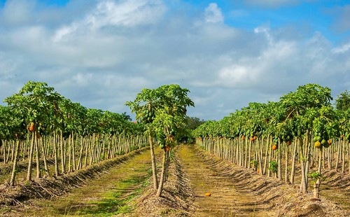 rows crops growing papaya farm field nikond3200 redlands southdade kromeavenue rural land agriculture landscape dirtmounds florida saariysqualitypictures