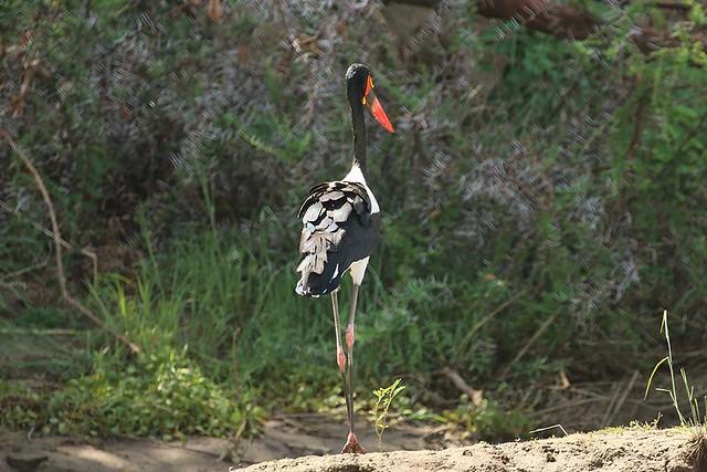 Saddle-billed stork, Zambezi, Zambia