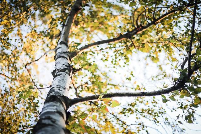white-bark tree