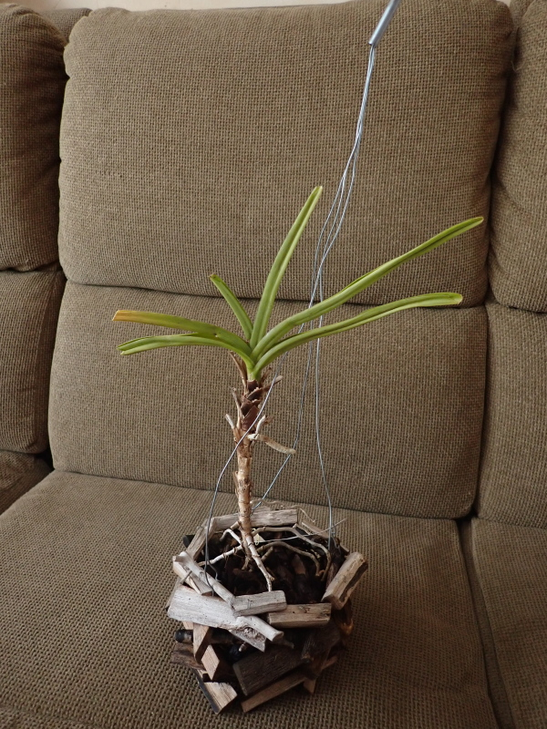 Les Orchidées chez Cloo en 2020 49345200948_82b5268872_o
