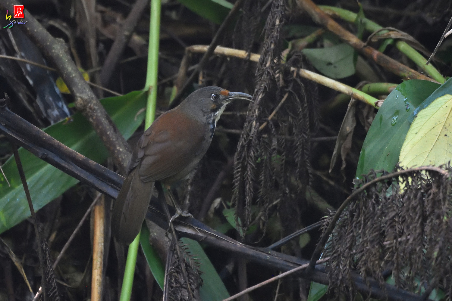 Rusty-cheeked_Scimitar_Babbler_0617