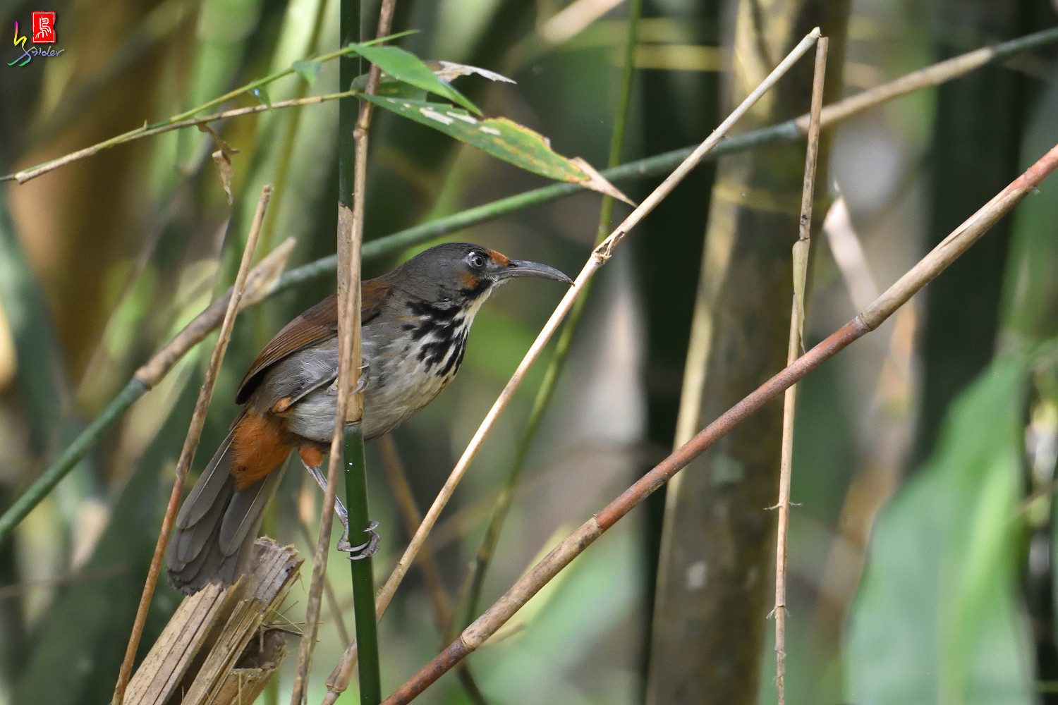 Rusty-cheeked_Scimitar_Babbler_0574
