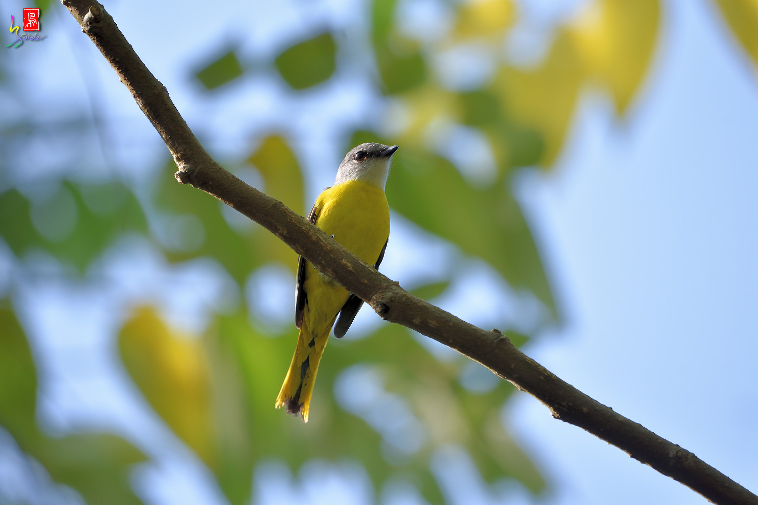 Grey-chinned_Minivet_0526