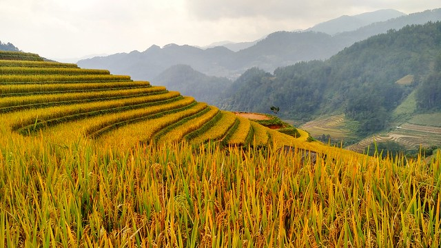 Golden rice terraces, northwestern Vietnam