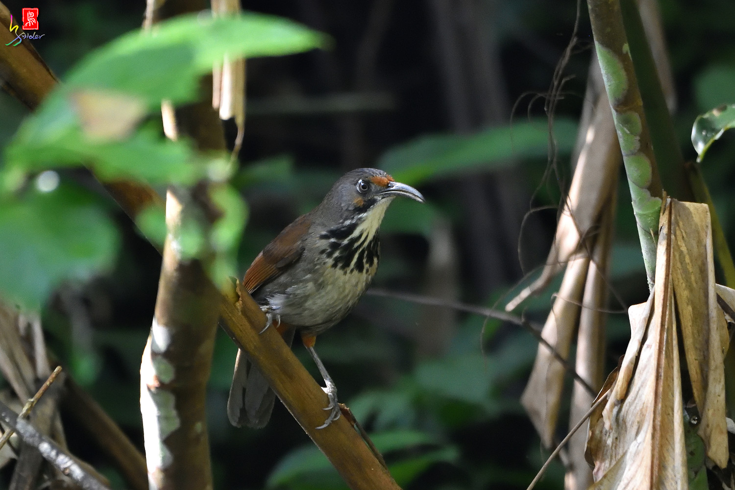 Rusty-cheeked_Scimitar_Babbler_0500
