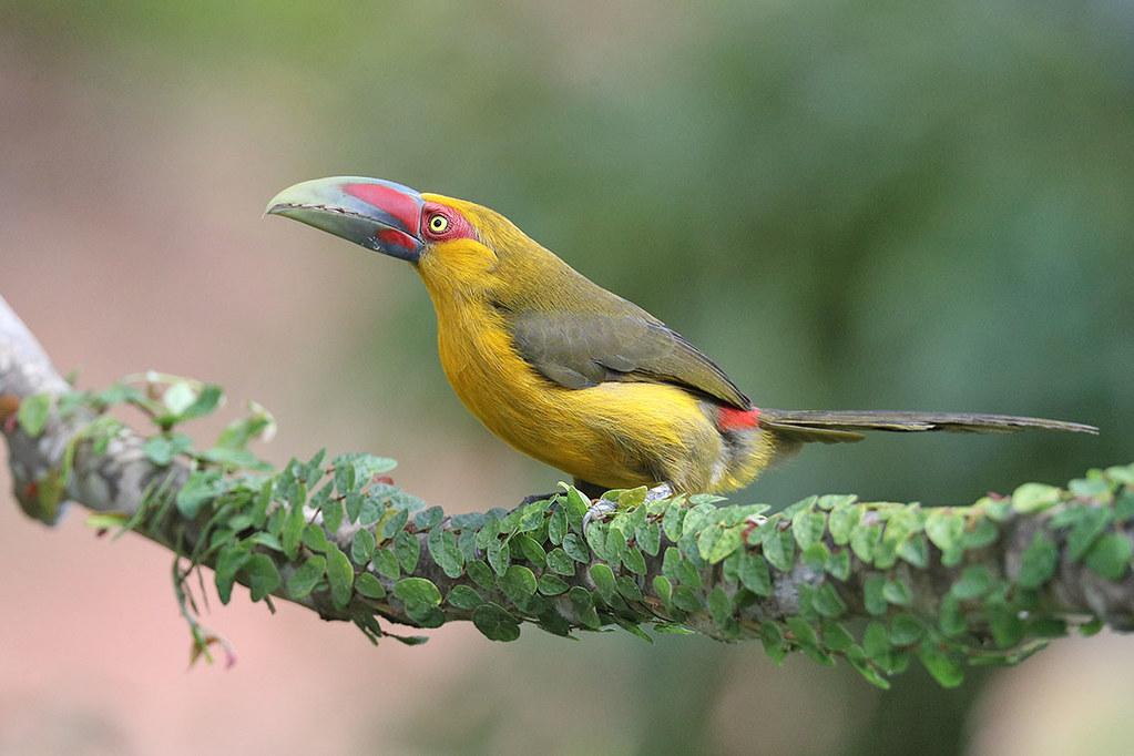 Saffron Toucanet-Pteroglossus bailloni