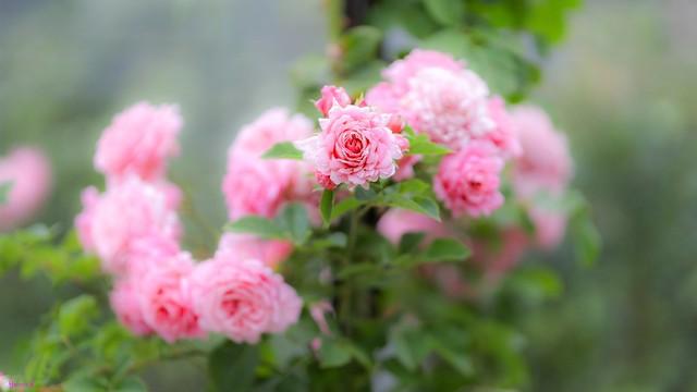 Rose - 7945