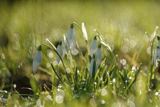 Snowdrops in the morning dew