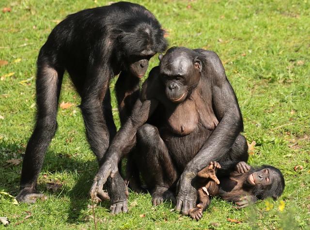 bonobo Apenheul BB2A0375