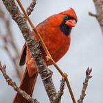 Leaning Cardinal