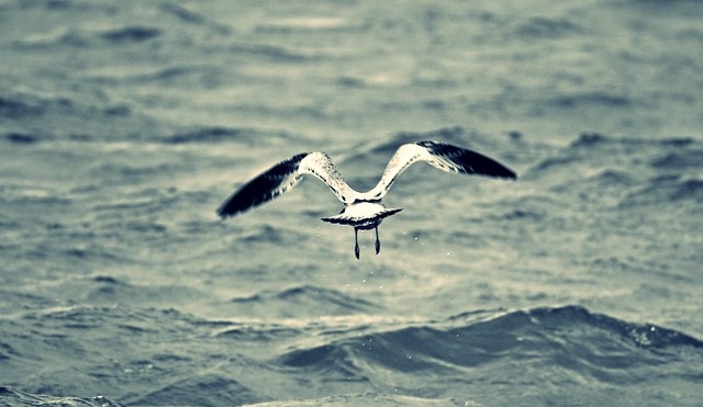 Seagulls in South Haven #9
