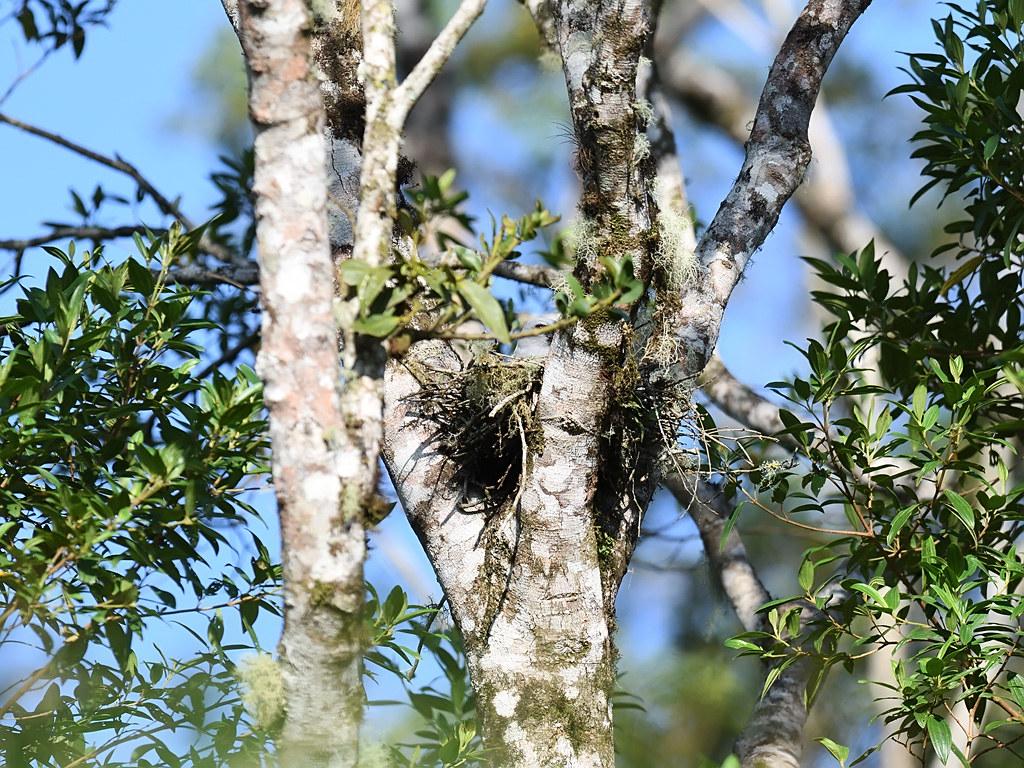 Plumbeous Kite in Nest