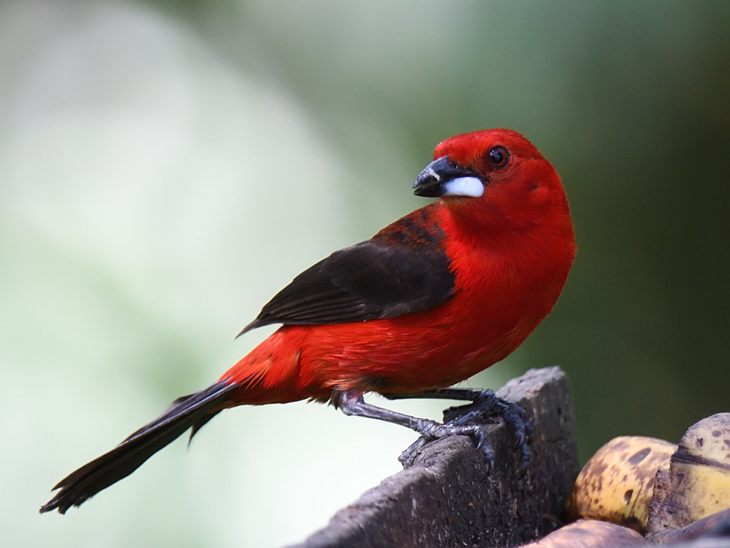 Brazilian Tanager (male)