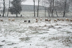 Pregnant ewe lambs