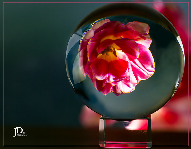 Tulip reflection in glass ball-1