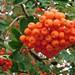 bagas-cinzas-de-montanha-frutinhas-1398912