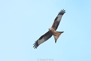 Circling Kite____(Ralph wk 01)