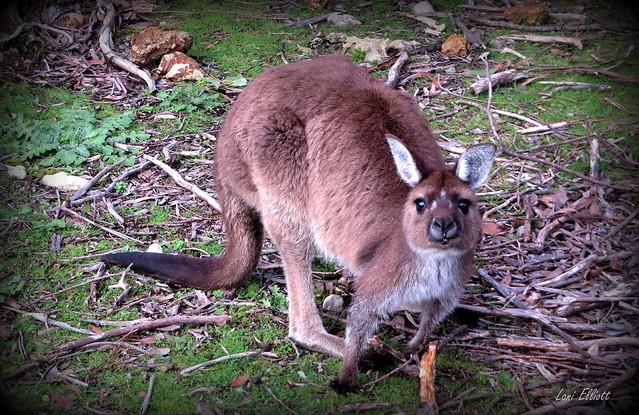 Remembering the Wildlife on KANGAROO ISLAND