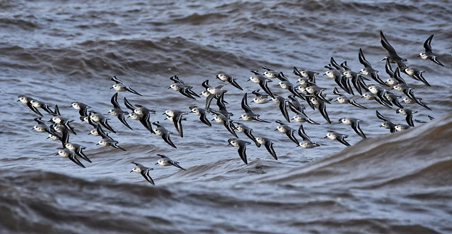 Flight of the Sanderlings (plus one Knot)