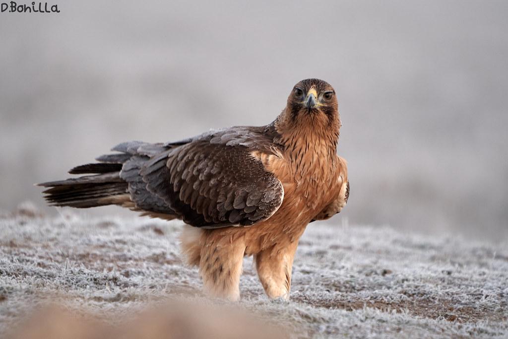 Águila Perdicera en Fauna y flora49347900767_74583d22cc_b
