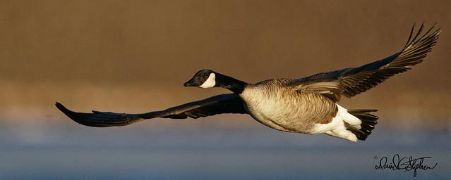 Canada Goose Flies Close In Morning Light