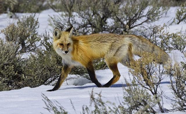 Red Fox 4278