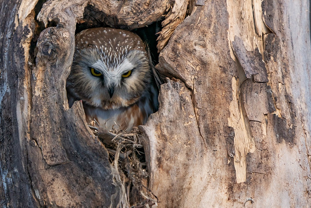 Northern Saw-Whet Owl (Boreal Owl)