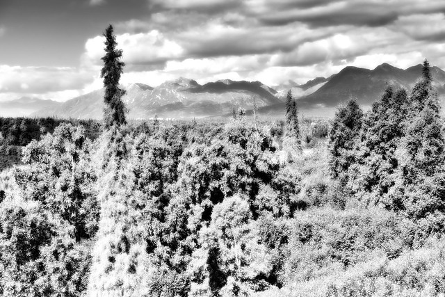 A Minimalist Setting of One of Trees in Denali State Park and Mountain Peaks Beyond (Black & White)