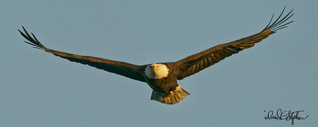 Bald Eagle In Evening Light