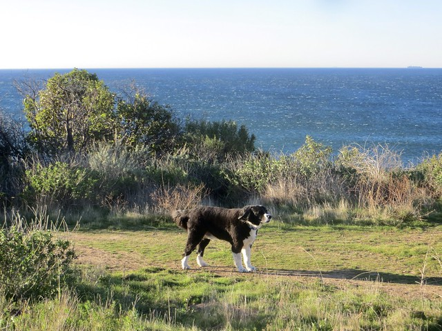 border collie in the wind