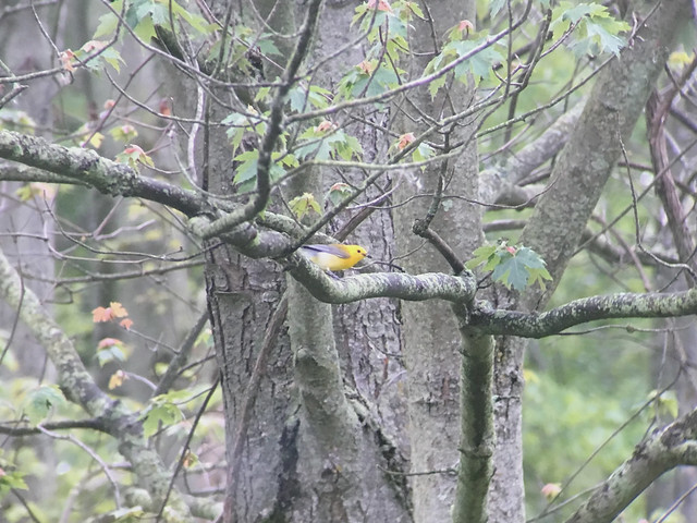 20190627 Prothonotary Warbler