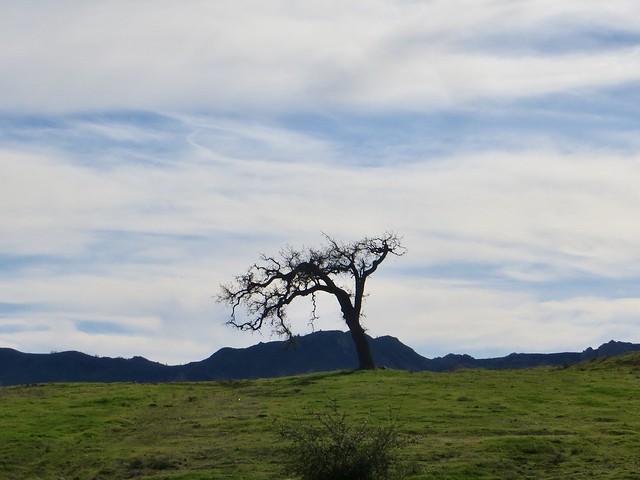 the lone oak in winter