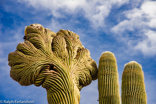 Top of the Saguaros | by Ralph Earlandson