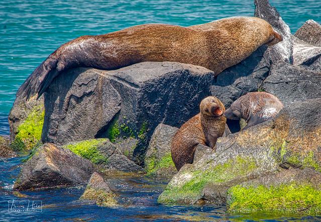 Australian Fur Seal