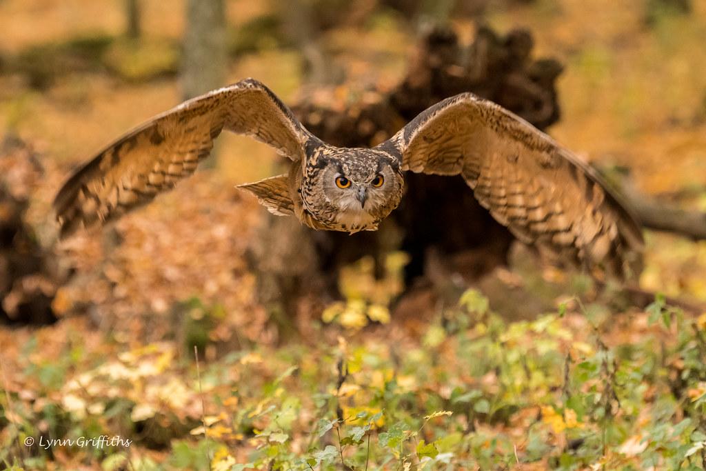 European Eagle Owl - Duck!! 501_6499.jpg