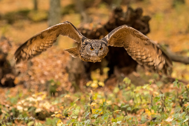 European Eagle Owl - Duck!! 501_6499.jpg