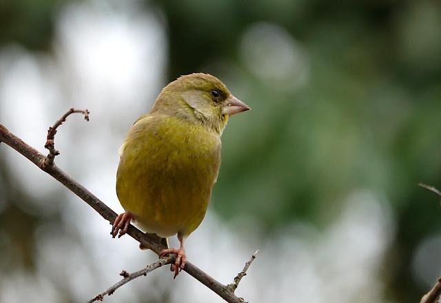 Garden greenfinch