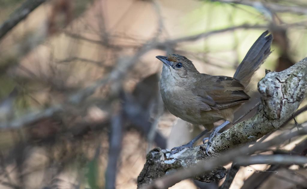 Phacellodomus rufifrons - Rufous-fronted Thornbird - Espinero Común - Castillero Llanero 06