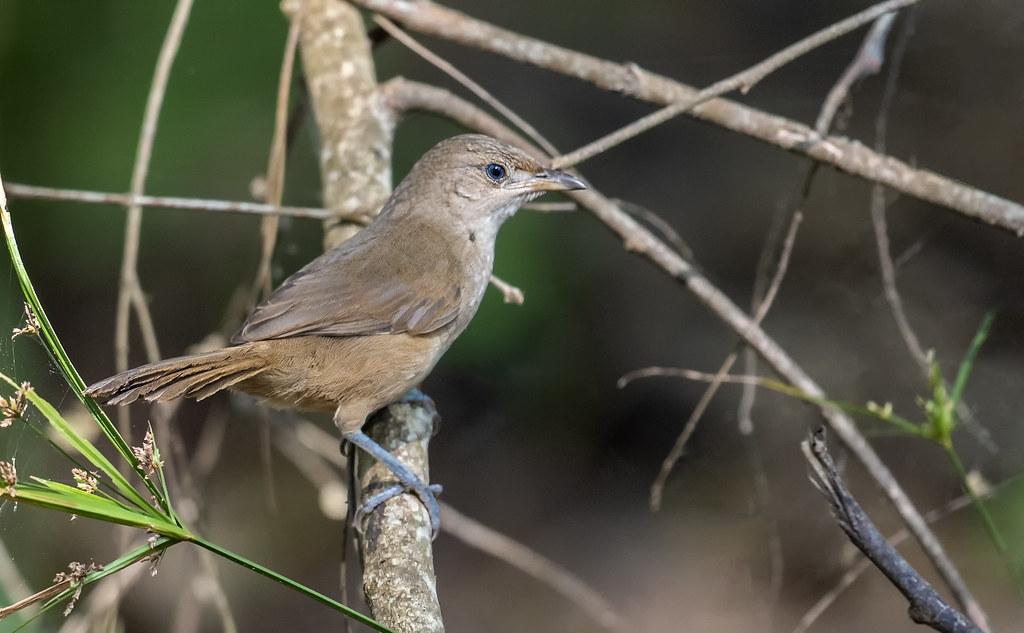 Phacellodomus rufifrons - Rufous-fronted Thornbird - Espinero Común - Castillero Llanero 04