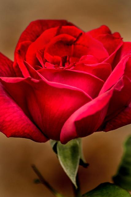 A Very Red Rose 3-0 F LR 10-12-19 J385