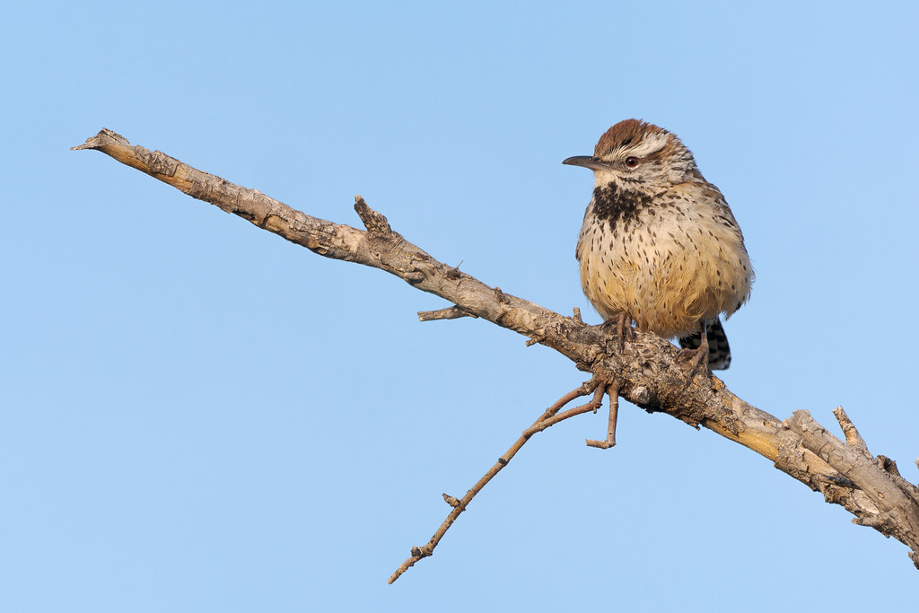 A cactus wren perches on a dead tree branch recently vacated by a house finch beside the Marcus Landslide Trail in McDowell Sonoran Preserve in Scottsdale, Arizona in January 2020