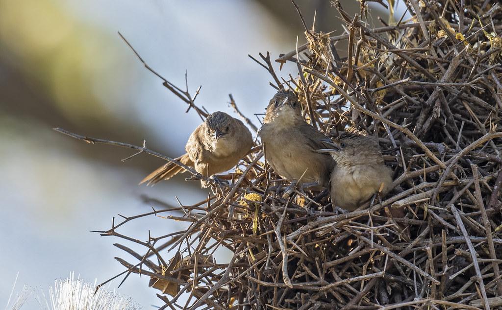 Phacellodomus rufifrons - Rufous-fronted Thornbird - Espinero Común - Castillero Llanero 03