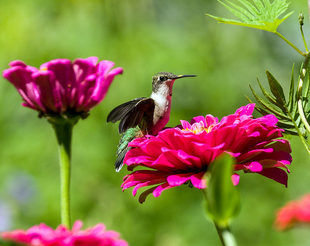 0P7A4036  Ruby-throated Hummingbird, Canada
