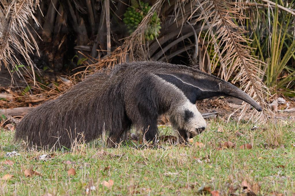 Giant anteater, Tamananoir ou Fourmilier géant (profil)