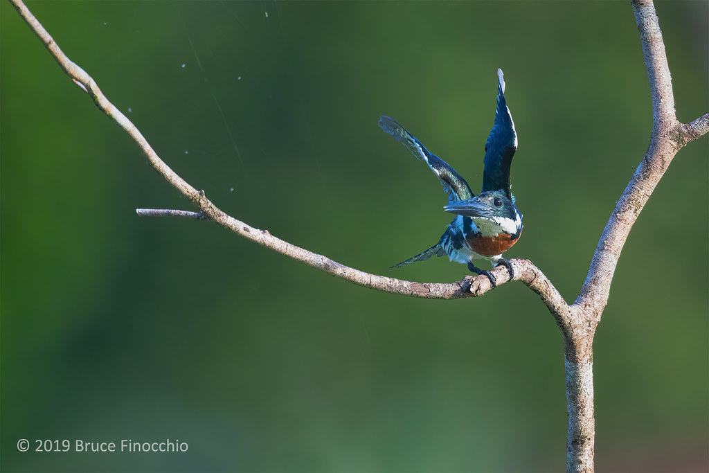 Male Amazon Kingfisher Taking Flight From A Perch