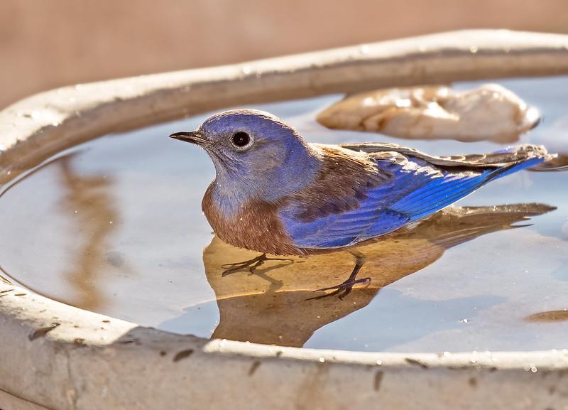 Western-Blue-Bird-80-7D2-100519