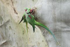 Alexandrine parakeet - Alexandersittich