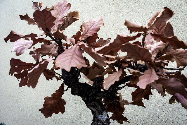 Daimyo Oak