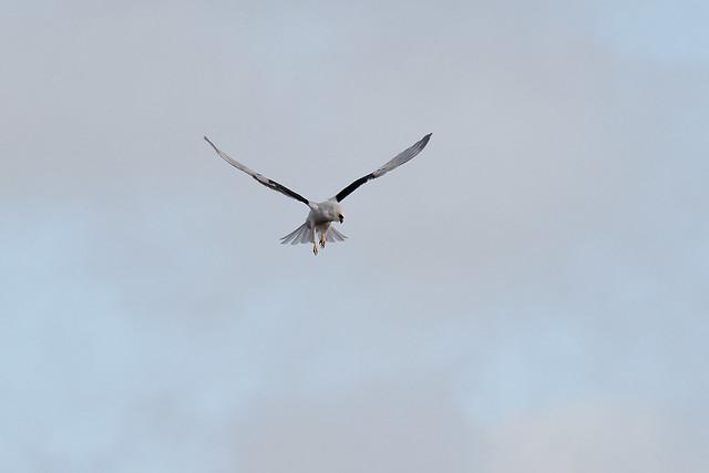 DSC_3101 White-tailed Kite