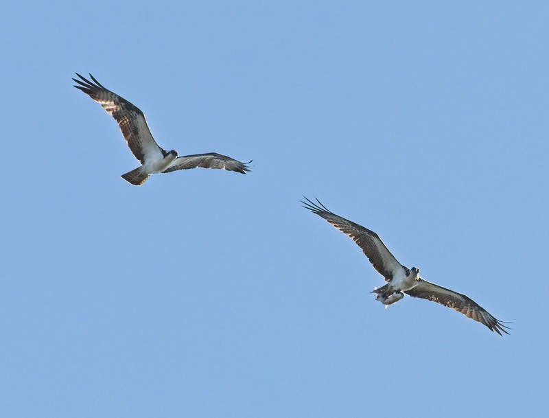 Two Ospreys with a monster fish at Cedar Key Florida